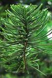 Le sapin s'embranche des feuilles de cyprès photos libres de droits