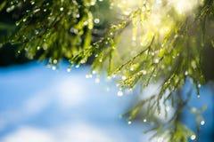 Le sapin s'embranche miroitant sur le soleil dans des gouttelettes de glace Photos libres de droits