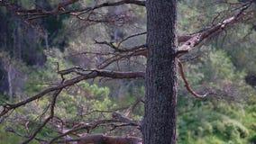 Le sapin sec de tronc d'arbre se tient sur la banque d'une rivi?re de montagne sur les roches Bel arbre m?me banque de vidéos