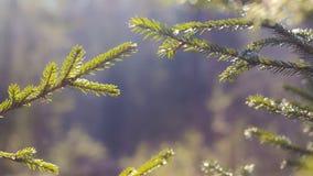 Le sapin vert s'embranche plan rapproché Été clips vidéos