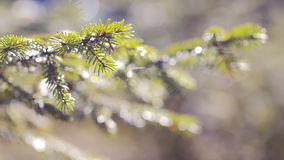 Le sapin vert s'embranche plan rapproché Été banque de vidéos