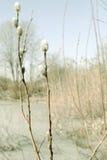 Le saule de ressort s'embranche avec des bourgeons sur le fond de tache floue Images libres de droits