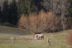 Le saule effraye des taureaux de pré images libres de droits