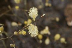 Le saule ou la ch?vre de chat fin de caprea de Salix vers le haut de macro bourgeons photographie stock libre de droits
