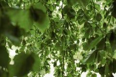 Le saule part du fond Environnement, jardinage et concept de faune image libre de droits