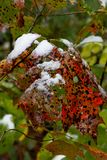 Le saupoudrage de la neige sur le chêne rouge et vert repéré part en automne Photographie stock
