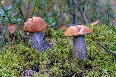 le scaber Rouge-couvert égrappe l'aurantiacum comestible de Leccinum de champignon photo libre de droits