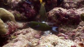 Le scad de saurels mange l'eau du fond de poissons à la recherche de la nourriture en Maldives clips vidéos