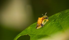 Le scarabée d'or de tortue Image libre de droits