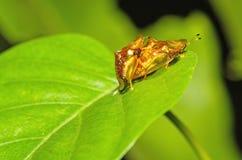 Le scarabée d'or de tortue hybrident sur la feuille verte à la scène de nuit Photos libres de droits