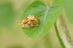 Le scarabée d'or de tortue hybrident sur la feuille verte Images libres de droits