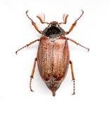 Le scarabée d'insecte Photos libres de droits
