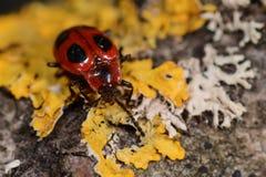 Le scarabée de coccinelle faux (coccineus d'Endomychus) sur le lichen a couvert le bois Photo libre de droits