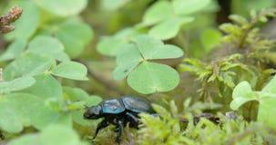Le scarabée de fumier noir et brillant rampe sur les feuilles FS700 4K banque de vidéos