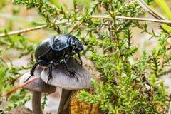 Le scarabée de fumier noir rampe au-dessus d'un champignon photos stock