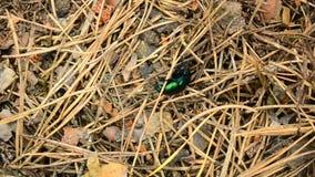 Le scarabée de fumier vert rampe dans la forêt clips vidéos