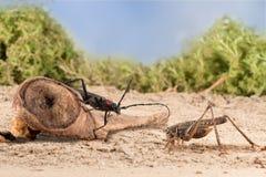Le scarabée de Longhorn de plan rapproché se repose sur un accroc et une sauterelle sur le sol arénacé des semideserts sur le fon image stock