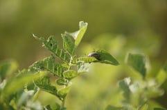 Le scarabée de pomme de terre du Colorado mange une culture des pommes de terre image libre de droits