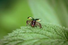 Le scarabée enlève en gros plan Le scarabée avec les ailes ouvertes est prêt à voler Fastuosa de Chrysolina sur un fond vert sur  photos stock