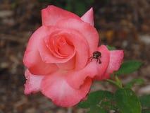 Le scarabée vert sur Coral Rose Photos libres de droits