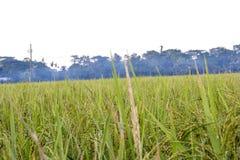 Le scene di tenuta dei colori dorati di riso verde in riso sistemano immagine stock libera da diritti