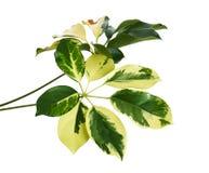 Le Schefflera a varié le ` de Capella d'or de ` de feuillage, feuille tropicale exotique, d'isolement sur le fond blanc avec le c photographie stock