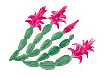 Le Schlumbergera est une plante tropicale qui se développe au Brésil, illustration stock