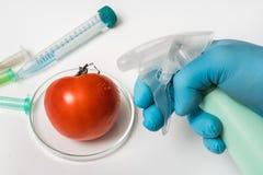 Le scientifique de GMO pulvérise le liquide sur la tomate rouge photos libres de droits