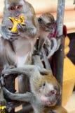 Le scimmie a Batu scava il tempio indù Gombak, Selangor malaysia fotografia stock libera da diritti
