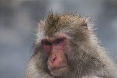 Le scimmie che della neve i macachi giapponesi bagnano dentro onsen le sorgenti di acqua calda di Nagano, Giappone immagine stock