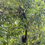 Le scimmie del cappuccino sono scimmie di nuovo mondo della sottofamiglia Cebinae Fotografie Stock Libere da Diritti