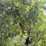 Le scimmie del cappuccino sono scimmie di nuovo mondo della sottofamiglia Cebinae Fotografia Stock Libera da Diritti