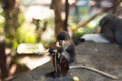 Le scimmie della bambina e della mamma, scimmia che la bambina mangia, scimmia gioca accanto alla madre Fotografia Stock Libera da Diritti
