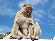 Le scimmie di Barbary o le scimmie di macaco di Gilbraltar Immagine Stock Libera da Diritti