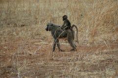 Le scimmie fanno una passeggiata Fotografie Stock Libere da Diritti