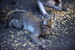 Le scimmie mangiano l'alimento Fotografia Stock Libera da Diritti