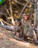 Le scimmie scalano gli alberi/scimmia/famiglia della scimmia Fotografia Stock