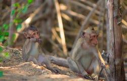 Le scimmie scalano gli alberi/scimmia/famiglia della scimmia Immagini Stock Libere da Diritti