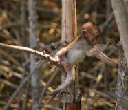 Le scimmie scalano gli alberi/scimmia/famiglia della scimmia Immagine Stock