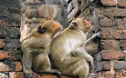 Le scimmie stanno guardando qualche cosa? Fotografie Stock Libere da Diritti