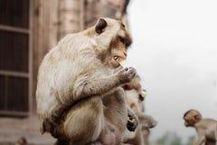Le scimmie stanno mangiando l'alimento Fotografia Stock