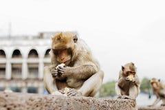 Le scimmie stanno mangiando l'alimento al cielo Immagini Stock