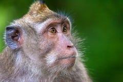Le scimmie sveglie vive nella foresta della scimmia di Ubud, Bali, Indonesia immagini stock