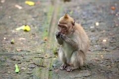 Le scimmie sveglie vive nella foresta della scimmia di Ubud, Bali, Indonesia Fotografia Stock