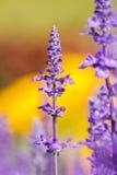 Le sclarea de Salvia fleurit la floraison d'herbe. Photographie stock
