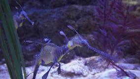 Le seadragon commun ou le taeniolatus malingre de Phyllopteryx de seadragon est poisson de mer lié à la vidéo de longueur d'actio banque de vidéos