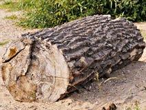 Le segment d'une surface clairement évidente de coupe de tronc d'arbre, comme bois de flottage, échoué, bois déchiré, s'est longt photographie stock libre de droits