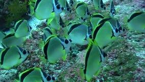 le selene Jaune-pointillé de Chaetodon de butterflyfish sont des décapants pour des requins banque de vidéos