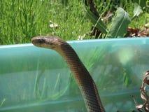 Le serpent Aesculapian photos libres de droits