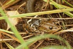 Le serpent a attrapé un crapaud énorme Photo libre de droits
